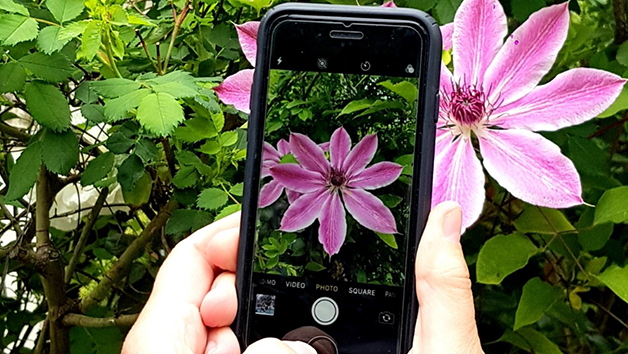 taking  a photo of a flower with a an iphone